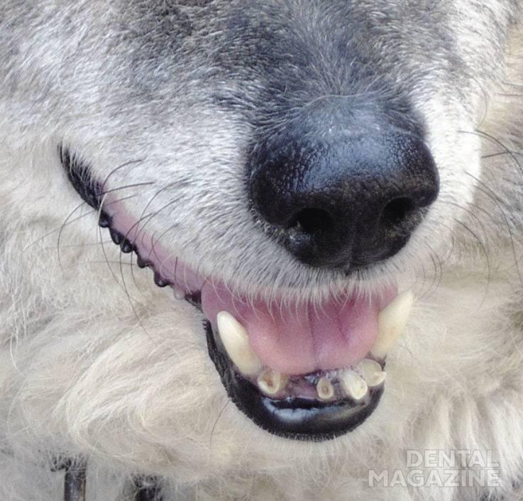 Рис. 1. Локализованная форма повышенной стираемости у собак.
